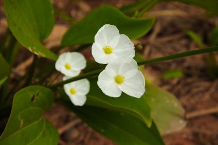 echinodorus: White flowers,  Echinodorus cardifolius (L.) Griseb. Stock Photo