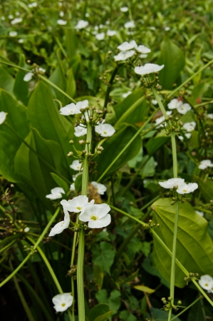 echinodorus: White flowers,  Echinodorus cardifolius (L.) Griseb. Stock Photo