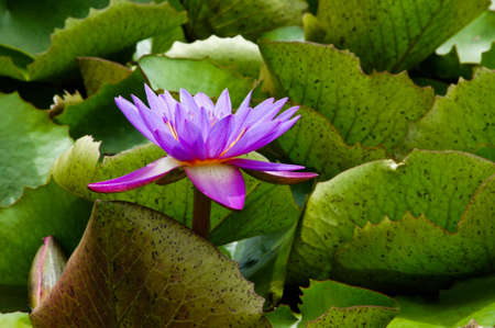 blooming water lilies photo
