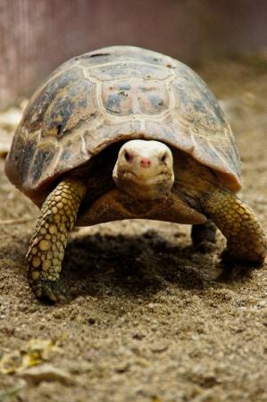 land turtle: Land turtle moving slowly on the land Stock Photo
