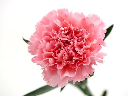 在白色背景康乃馨隔绝的康乃馨为母亲节图象