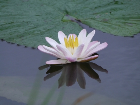 water lily flower  lotus  The lotus flower  water lily  is national flower for India  Lotus flower is a important symbol in buddha religion  Standard-Bild