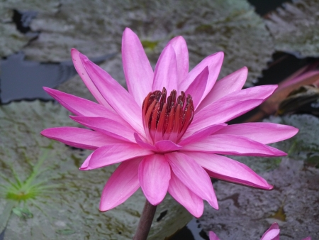 Water lily flower lotus the lotus flower water lily is national stock photo water lily flower lotus the lotus flower water lily is national flower for india lotus flower is a important symbol in buddha religion mightylinksfo