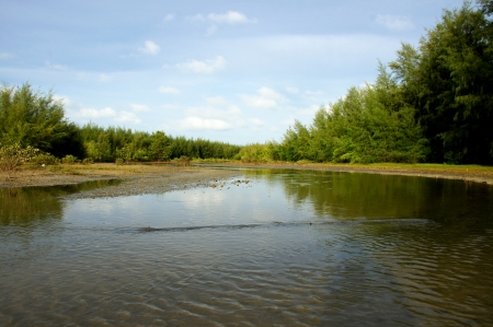 Mangrove forest topical rainforest for background, Ta lum pook promontory of Thailand  Stock Photo - 15857499