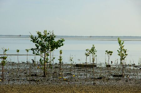 Mangrove forest topical rainforest for background, Ta lum pook promontory of Thailand  photo