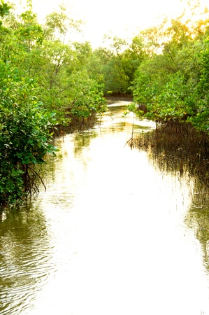 Mangrove forest topical rainforest for background, Ta lum pook promontory of Thailand. Stock Photo - 15857497