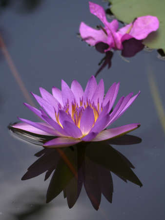 Purple Water Lily Stock Photo - 16151752