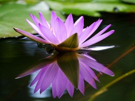 Purple Water Lily Stock Photo - 16152928