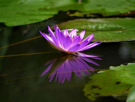 Purple Water Lily Stock Photo - 16152929