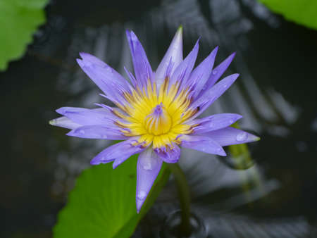 Purple Water Lily Stock Photo - 16151748