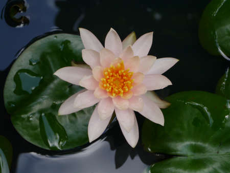 Water Lily Stock Photo - 16153038