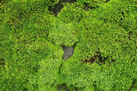 closeup old Stone Overgrown with Green Moss in forest photo