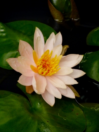 Water Lily Stock Photo - 16327858