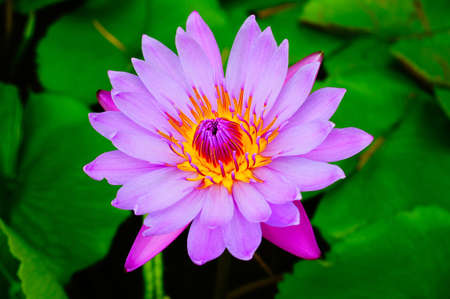 Pink waterlily, pink lotus in the garden. Stock Photo - 16502976