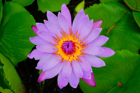 Pink waterlily, pink lotus in the garden. photo