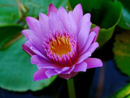 pink waterlily Stock Photo - 16502974