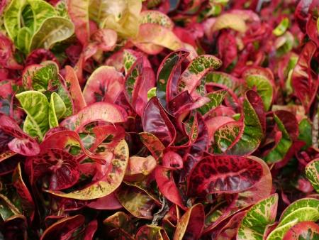 jessamine: red variegatum Codiaeum L Blume