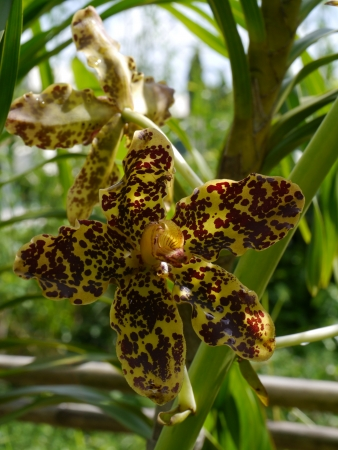 bl: Largest orchid in the world, Scientific name: Grammatophyllum specinocum BL.