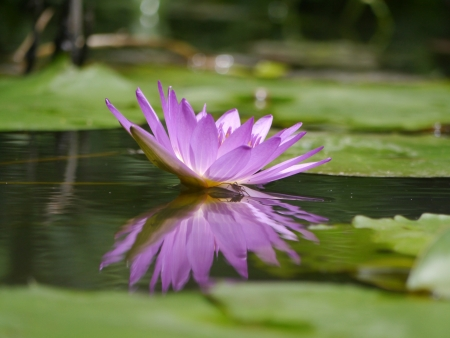 Purple Water Lily Stock Photo - 16720995