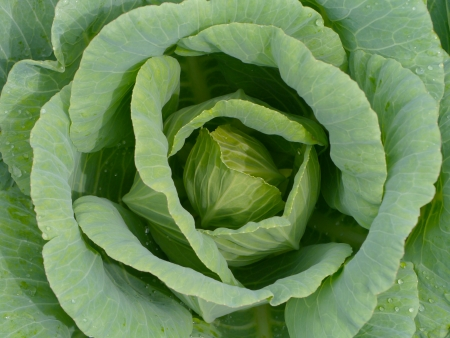 Green cabbage  photo
