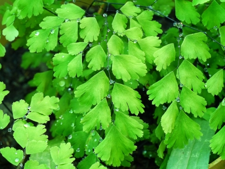 Leaf of Genus Adiantum fern photo