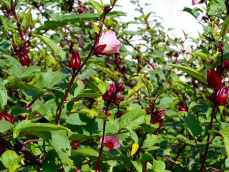 Roselle fruits Hibiscus sabdariffa L, Tha�lande photo