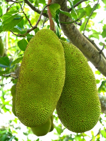 Raw jackfruit on the tree.