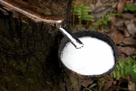 Rubber Latex  of rubber trees  Standard-Bild