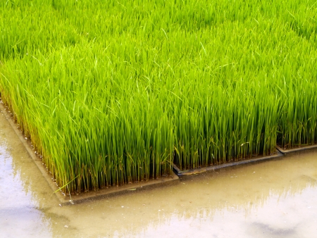 Seedlings for planting rice with machines.