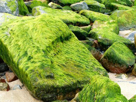 algas verdes: Las algas verdes en las rocas junto al mar.