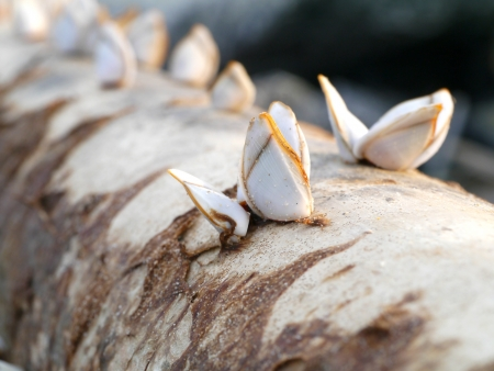 barnacles: Goose barnacles on lumber