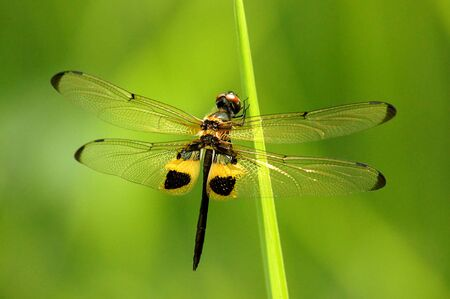 Resting black and yellow dragonfly photo