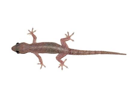 House lizard (Hemidactylus platyurus) isolated on white background photo