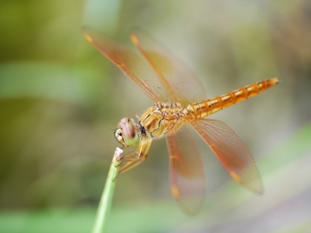 dropwing: Resting red and yellow dragonfly Stock Photo