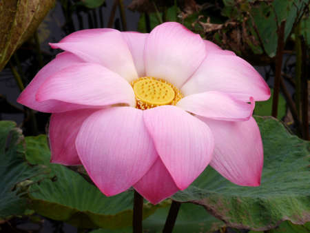 Water lily in Lotus Museum, Thailand photo