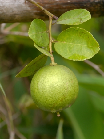 Lime fruit on tree lime. photo