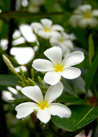 White Frangipani flowers. photo