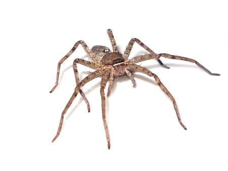 arachnophobia: Brown spider on white background.