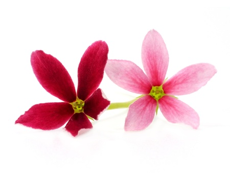red and pink flower of Rangoon creeper. photo