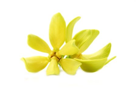 siamensis: Yellow flower of Bhandari on white background., Scientific name: Artabotrys siamensis Mig.