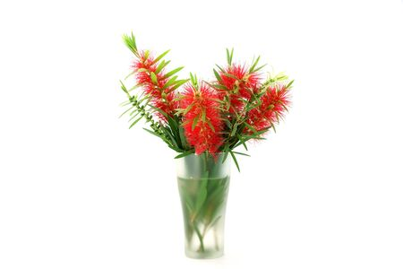 lanceolatus: Red bottle brush flower isolated on white background, Scientific name: Callistemon lanceolatus DC. Stock Photo