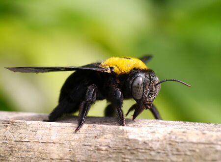 Close-up of bumblebee on bamboo branches. photo