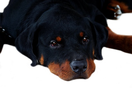 Portrait of Rottweiler photo