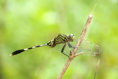 dropwing: Ophiogomphus cecilia. Green Snaketail dragonfly in the garden.