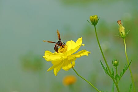 Insect wasps and yellow cosmos flower. photo