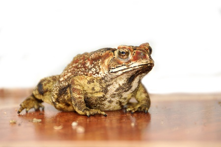 wart: Toad standing on the tiles. Stock Photo