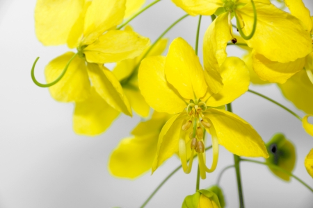 Yellow flower of Golden shower (Cassia fistula) photo