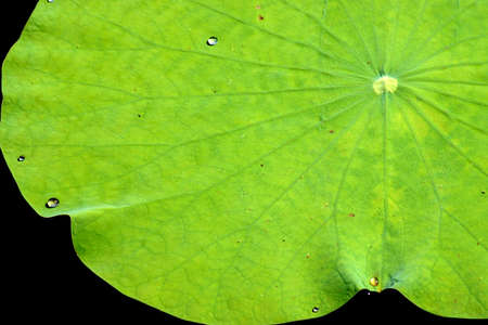 water lily, lotus and leaf. photo
