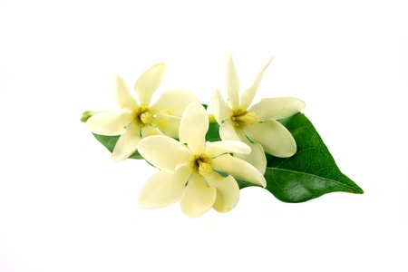 Golden Gardenia flower or Gardenia carinata Wallich with leaf isolated on white background photo