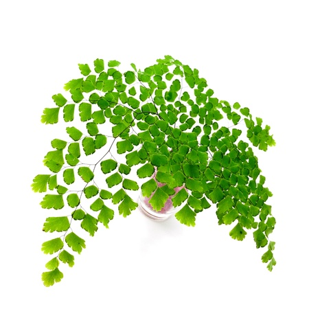 Adiantum fern leaves  on white background photo
